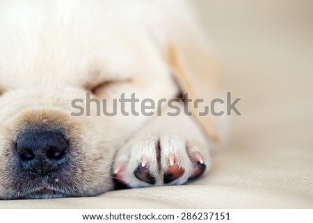 Puppy Labrador - stock photo