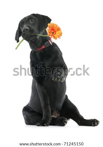 Puppy Labrador holding a flower in its mouth and giving a paw - stock photo