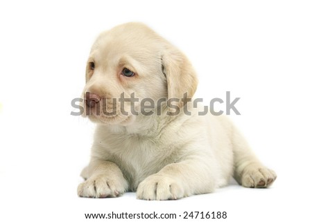 Puppy Labrador lies on a white background. Pale yellow Labrador.