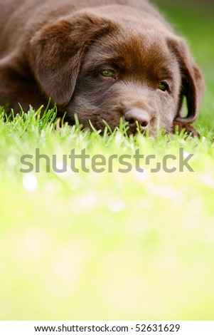 Puppy labrador lying in the grass