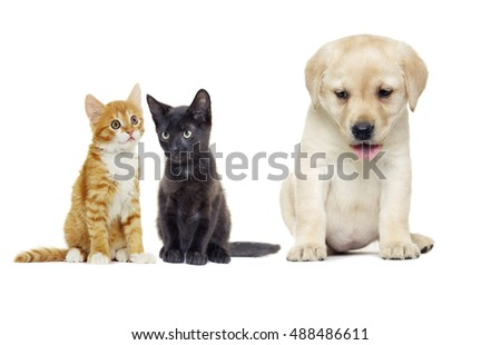 Puppy Labrador retriever and cat looking