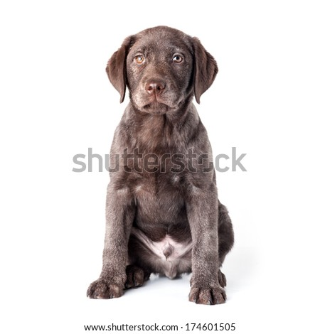 Puppy labrador retriever dog isolated on a white background.  - stock photo