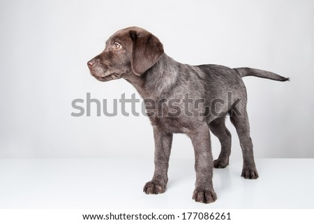 Puppy labrador retriever dog isolated on white background.  - stock photo