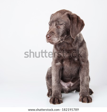 Puppy labrador retriever dog with closed eyes isolated on a white background.  - stock photo