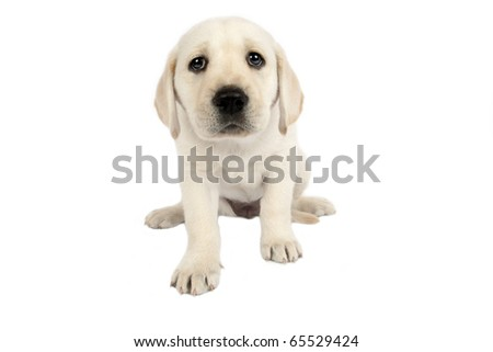Puppy Labrador retriever in front of a white background .