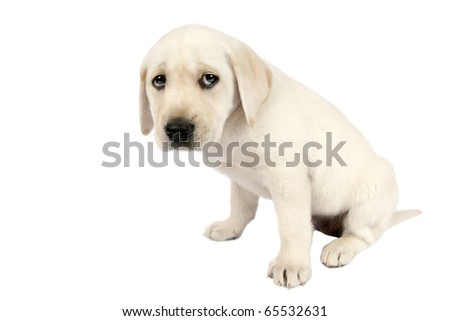 Puppy Labrador retriever in front of a white background