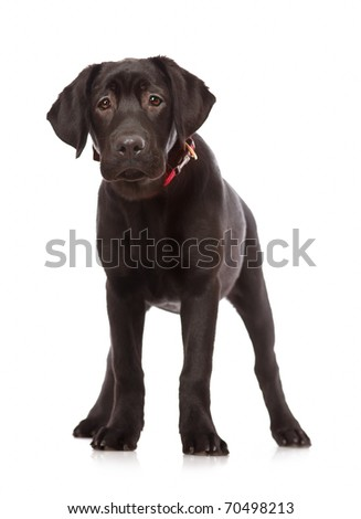 Puppy Labrador retriever isolated on white