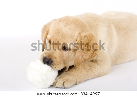 puppy labrador retriever playing with fur ball over white background