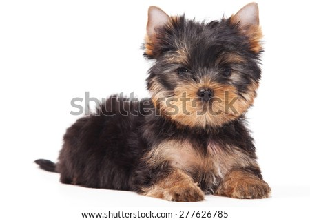 Puppy lies and looks into the camera (isolated on white) - stock photo