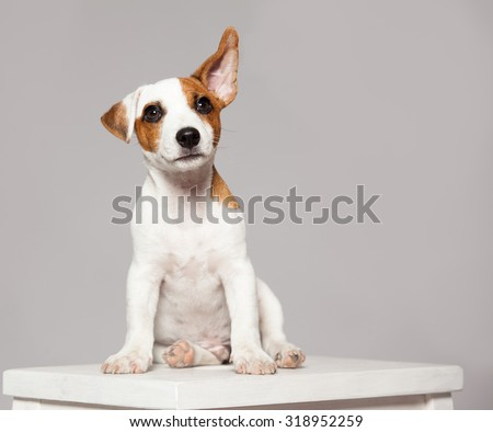 Puppy listening with raised ear. dog eavesdropping - stock photo