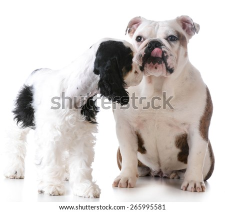 puppy love - american cocker spaniel and english bulldog kissing each other on white background - stock photo