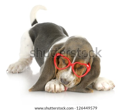 puppy love - basset hound puppy wearing heart shaped glasses - 8 weeks old - stock photo