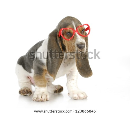 puppy love - basset hound puppy wearing heart shaped glasses with reflection on white background - stock photo