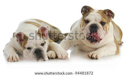 puppy love - english bulldog comforting another on white background