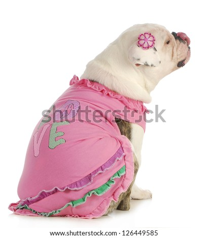 puppy love - english bulldog wearing pink dog sweater isolated on white background