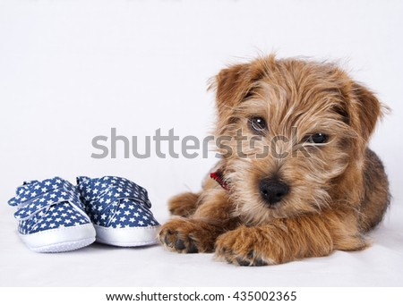 Puppy lying beside a pair of blue baby shoes with star print - stock photo