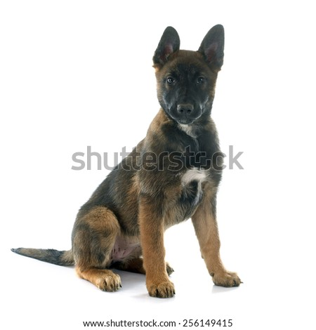 puppy malinois in front of white background - stock photo