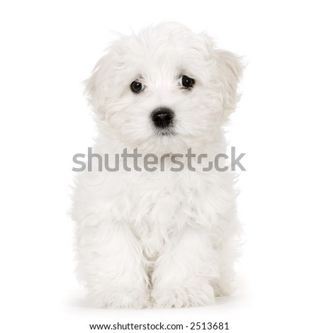 puppy maltese dog sitting in front of white background