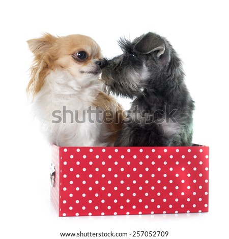 puppy Miniature Schnauzer and chihuahua in front of white background - stock photo