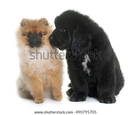 puppy newfoundland dog and spitz in front of white background