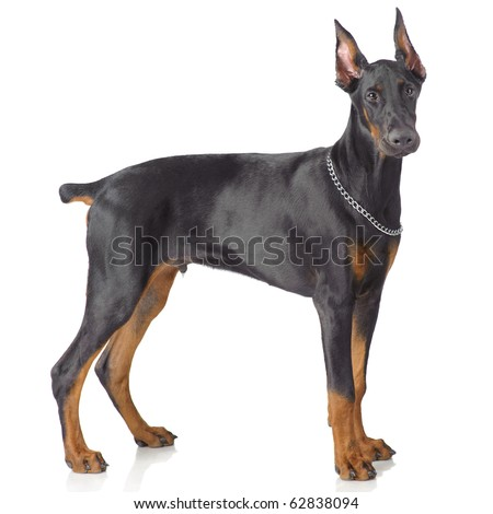 Puppy od doberman standing isolated on white - stock photo