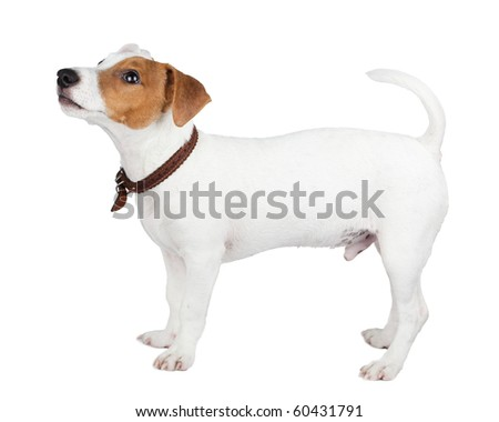Puppy of a dog in studio against a white background. A Jack Russell terrier is a dog with a high level of energy.