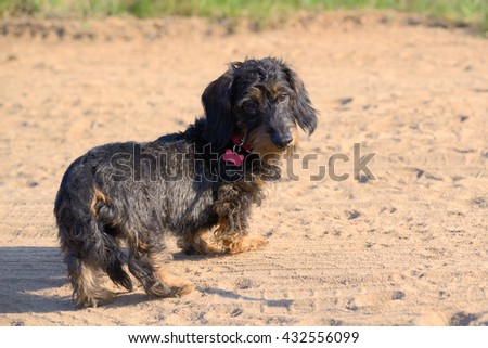 Puppy of a long-haired dachshund on a sandy path - stock photo
