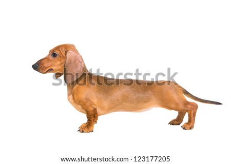 puppy of a red dachshund with fine exterior on isolated white background - stock photo