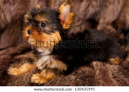 puppy of a Yorkshire terrier small doggie