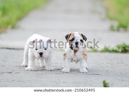 Puppy of an English bulldog - stock photo