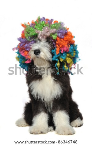 Puppy of bearded collie wearing a clown's wig - stock photo