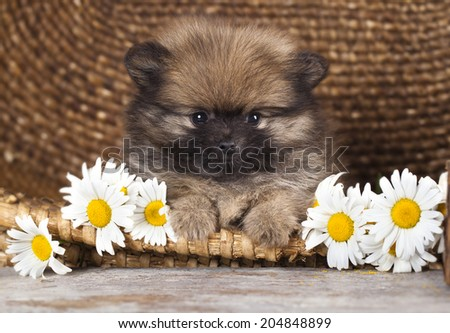 Puppy of breed a Pomeranian and flowers - stock photo
