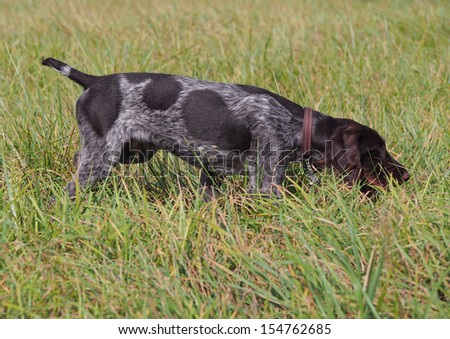 Puppy of breed German Pointer  studies to hunt in the field terms