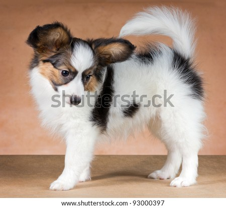 Puppy of breed papillon on a  beige background - stock photo