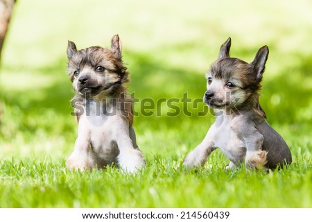 Puppy of Chinese crested dog together