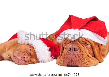 Puppy of dogue de bordeaux and its mom waiting for Christmas - stock photo