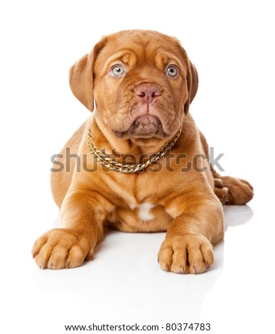 Puppy of Dogue de Bordeaux (French mastiff). Isolated on white background - stock photo