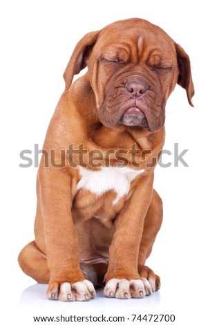 Puppy of Dogue de Bordeaux (French mastiff) taking a nap while sitting - stock photo