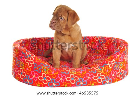 Puppy of Dogue De Bordeaux is Sitting in its Cot - stock photo