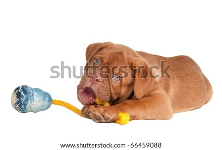 Puppy of dogue de bordeaux playing with a blue toy - stock photo