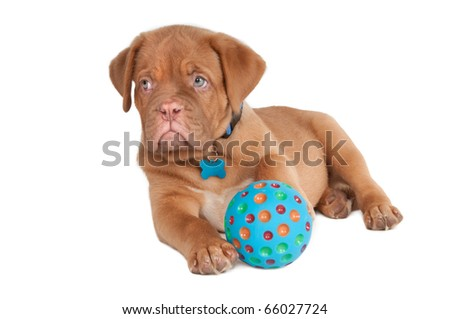 Puppy of dogue de bordeaux playing with blue ball - stock photo