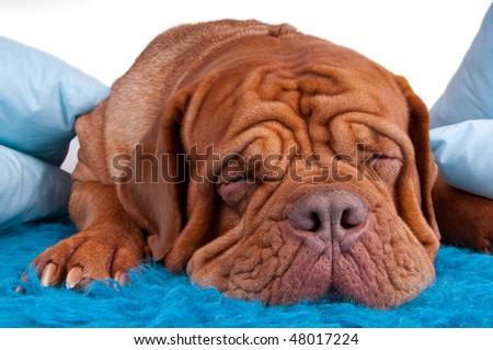 puppy of dogue de bordeaux sleeping on blue carpet - stock photo