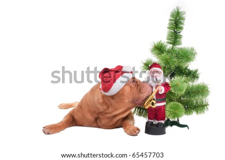 Puppy of dogue de bordeaux with Santa cap sniffing a Christmas toy - stock photo