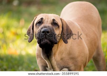 puppy of Fila Brasileiro (Brazilian Mastiff) outdoor on green grass - stock photo
