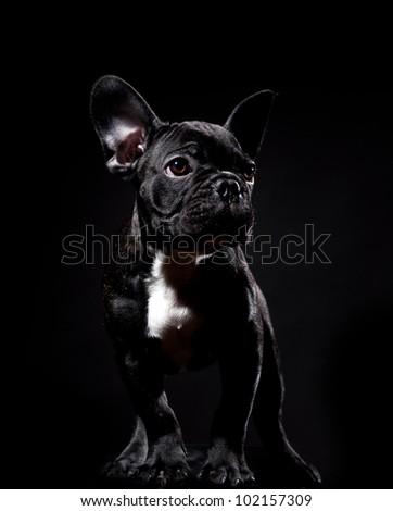 Puppy of french bulldog on black background - stock photo