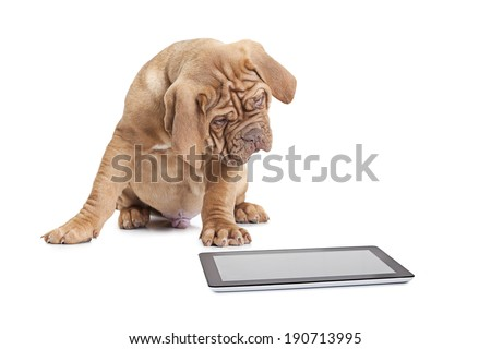 Puppy of French Mastiff breed looking at digital tablet computer  - stock photo