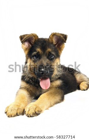 puppy of german shepard dog portrait on white background - stock photo