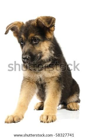 puppy of german shepard dog portrait on white background - stock photo