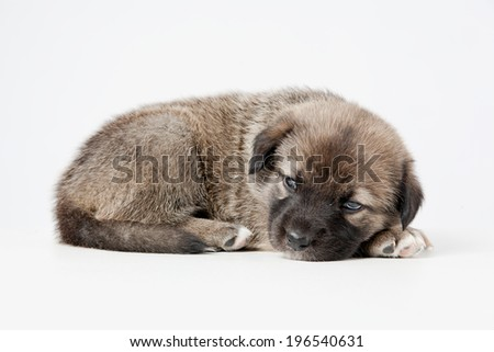 Puppy of German Shepherd sleeping