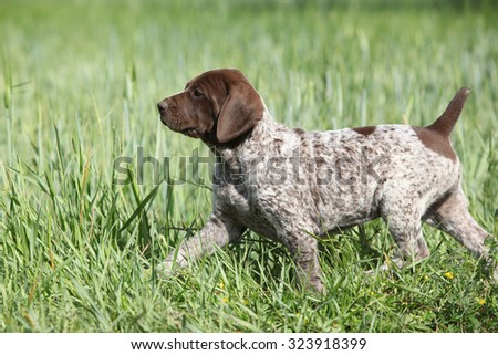 Puppy of German Shorthaired Pointer running in nature - stock photo